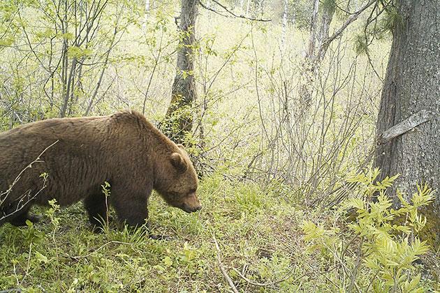 Информация о кузбасских медведях-людоедах оказалась фейком