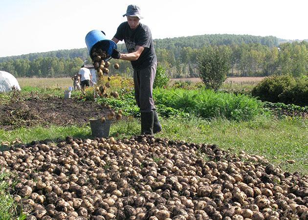 Кузбасских школьников научат выращивать картофель
