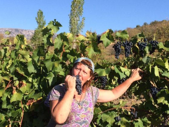В Кузбассе начали выращивать новые сорта винограда