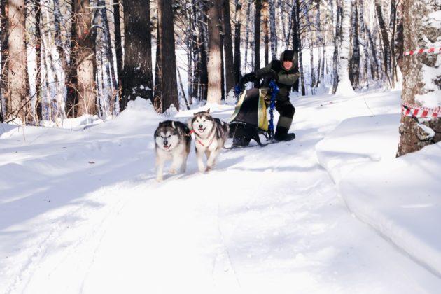 В кузбасском музее-заповеднике пройдут гонки на собачьих упряжках