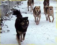Стаи бродячих собак встревожили жителей Белова