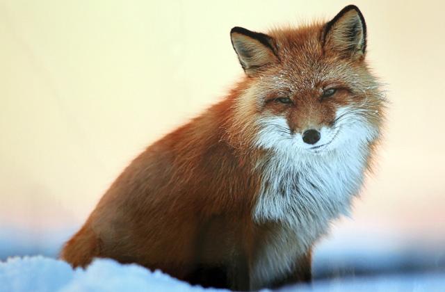 В Кузбассе в два раза выросло поголовье лисицы