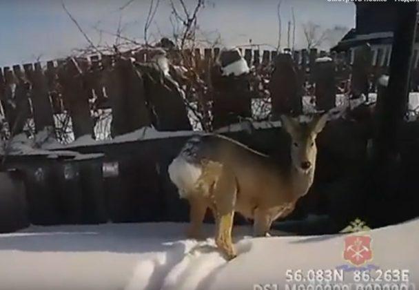 Лесная косуля заблудилась в огороде жительницы Анжеро-Судженска