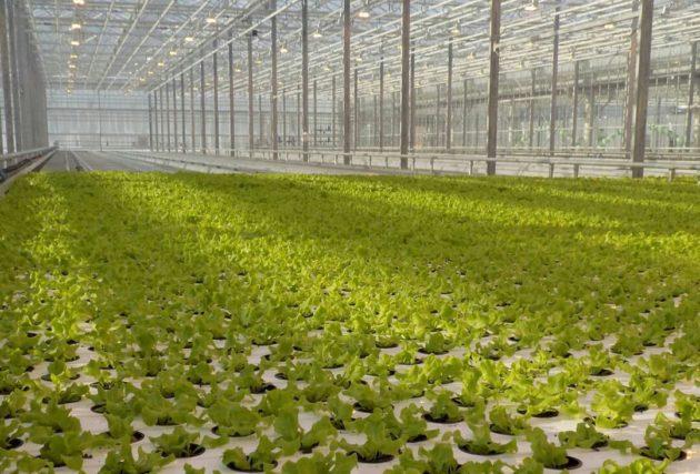 В Кузбассе увеличивают производство тепличных овощей