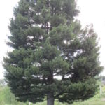 Кузбасский кедр номинирован на конкурс «Российское дерево года-2020»