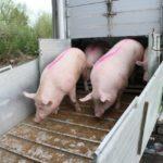 Свинокомплекс под Новокузнецком пополнили тюменские хряки