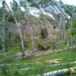 Разработан план по устранению последствий урагана в Мариинском и Тяжинском лесничествах