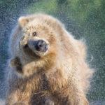 Медведь напал на скот в пригороде Таштагола
