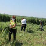 В кузбасской деревне борются с зарослями конопли