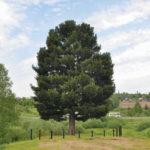Жители Кузбасса могут помочь старейшему дереву стать главным исполином страны