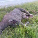 В Кузбассе разыскивают водителя, который сбил лося