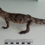 Штраф за крокодила