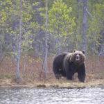 В Кузбассе регулярно появляются сообщения о встречах с медведями