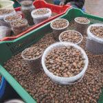 Сбор кедрового ореха в Кузбассе разрешат с 15 августа