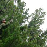 Кузбасские лесничие заготовят 1700 килограммов семян кедра