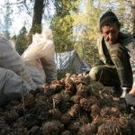 В Кузбассе начали штрафовать браконьеров за сбор кедрового ореха