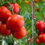 О томатах, картофеле и чесноке