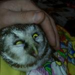 Раненую сову из Шорского национального парка доставили на лечение за 300 километров