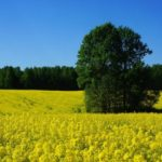 Аграрии Кузбасса получили почти 57 млн рублей на производство масличных культур