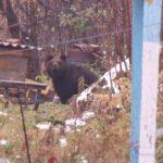 Третирующих окраины Междуреченска медведицу с медвежонком разрешили застрелить