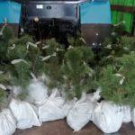 Еще 300 кедров из Кузбасса посадили на острове Русском