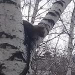 Сенсационный гость из тайги: в центре жилого района Кемерова заметили соболя