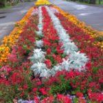 В Юрге вороют луковицы тюльпанов с городских клумб
