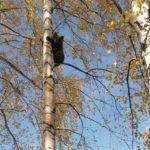 Медведь испугался жителей Новокузнецка