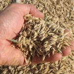 В Кузбассе собрали почти 1,5 млн тонн зерна