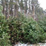 В Кузбассе началась предновогодняя охота на «черных лесорубов»