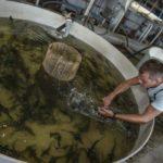 Рыбоводные хозяйства Кузбасса выходят на новый уровень