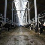 Животноводы Кузбасса получили компенсацию за лейкозных коров