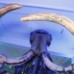 Смотрите, кто пришел: впервые в Кузбассе собрали полный скелет мамонта