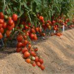 Про йод и доверчивых садоводов…