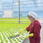 В Кузбассе увеличилось производство тепличных овощей
