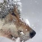Волки бегают по улицам города в Алтайском крае