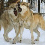 В Кузбассе разрешили подстрелить пять волков