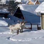 Два оленя сбежали из зоопарка в Таштагольском районе