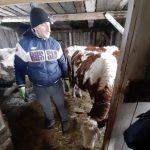 Поголовье скота в Кузбассе пополняется молодняком