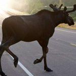 В Кузбассе браконьеры застрелили беременную лосиху