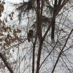 В центре Кемерова поселилась крупная дикая сова