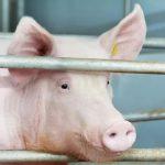 Свинокомплекс «Сибагро» в Кемеровской области начал производство продукции