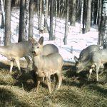 В Топкинском и Юргинском округе бродячие собаки загрызли косуль