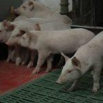 В Кузбассе ожидается рост объемов производства свинины