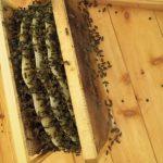 Вступил в силу Федеральный закон «О пчеловодстве в Российской Федерации»