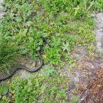 Эксперты предупреждают: в Кузбассе проснулись змеи