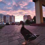 В Кемерове на проспекте Шахтеров гуляет домашняя утка