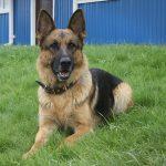 Полиция Кузбасса потратит 4,4 миллиона на заботу о собаках