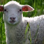 В Кузбассе поезд сбил 22 овцы