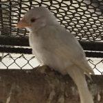 У редкого белого воробья из Кемеровского округа выросли «взрослые» перья